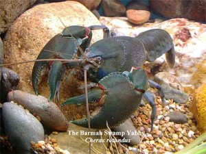 Yabby species identification expertise